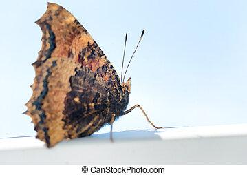 Butterfly yellow legged tortoiseshell sits on window -...