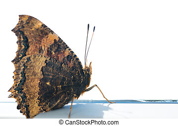 Butterfly yellow legged tortoiseshell sits on window -...