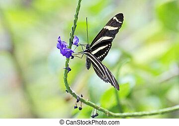 butterfly zebra longwing butterfly macro