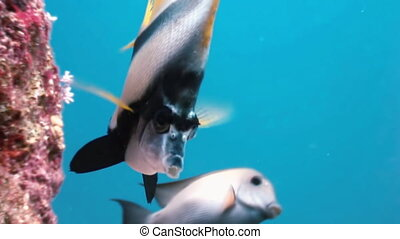 Butterflyfish floats over coral reef in Red Sea.