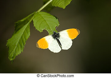 butterfly/Orange Tip - Anthocaris cardamines