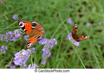 Butterflys on lavender