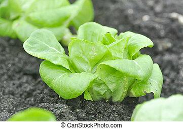 butterhead lettuce ,lettuce in the vegetable garden