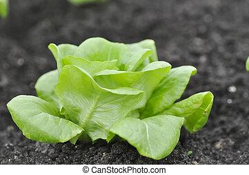 butterhead lettuce , lettuce in the vegetable garden