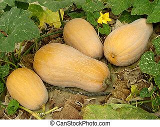 butternut, abóboras