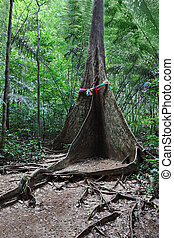 Buttress root tree in the jungle