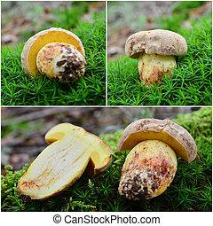 butyriboletus, subappendiculatus, champignon