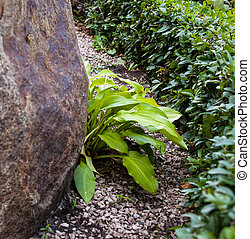 Buxus and hosta near the big stone.