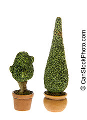 Buxus bushes in flower pots isolated white background