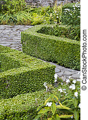 Buxus sempervirens box hedge - Box hedge, buxus sempervirens...