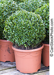 buxus sempervirens  - clipped buxus sempervirens