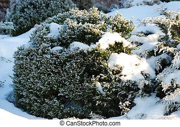 Buxus sempervirens in snow - Evergreen buxus sempervirens...