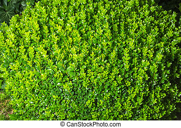 Buxus sempervirens or european box or boxwood with stones in...