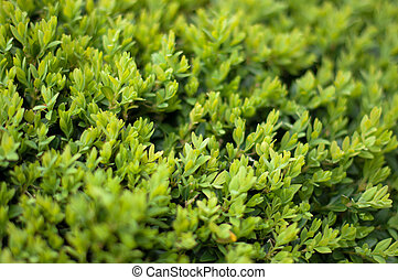 Leaves of the Box tree Buxus garden background