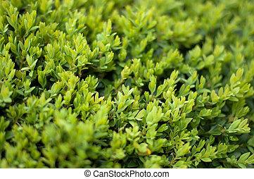 Buxus Sempervireus - Leaves of the Box tree Buxus garden...