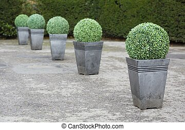 Buxus topiary planters - Buxus boxwood topiary in pots in a ...