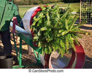 Buying a Christmas tree - Freshly cut Christmas tree being...