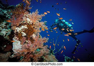 buzo, coral, escafandra autónoma, tropical, pez escollo