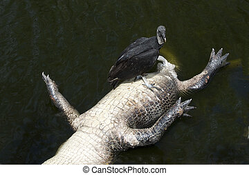 Buzzard and Alligator - Alligator carcass with buzzard