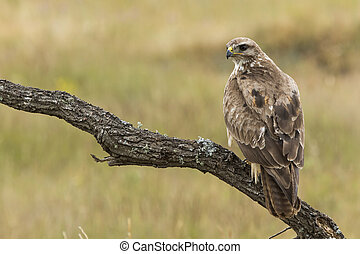 Buzzard, ( Buteo buteo ), perched on his perch