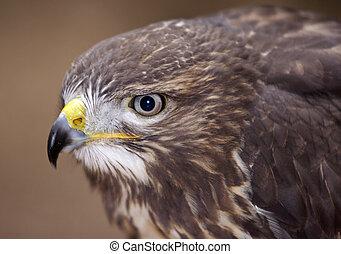 buzzard - detail of the head