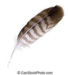 Buzzard feather isolated on white background. Space for your...
