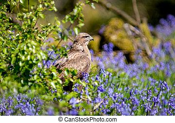 Buzzard in bluebells