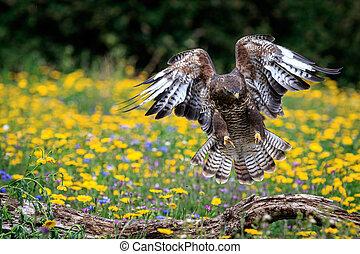 buzzard - A buzzard landing on a branch.