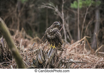 buzzard sits in an autumn forest
