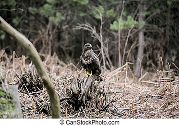 buzzard sits on a stump in an autumn forest
