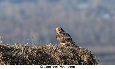 Buzzard - a young buzzard sits on a haystack