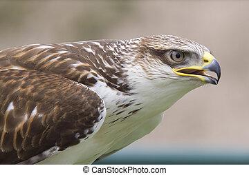 Buzzard - Close-up photo of a buzzard