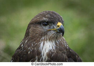 Buzzard - A old buzzard close-up portrait.
