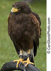 buzzard bird on a wild bird show