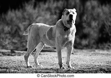 bw alabai dog background