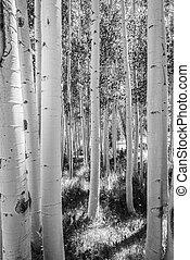 B&W of Aspen Tree Grove