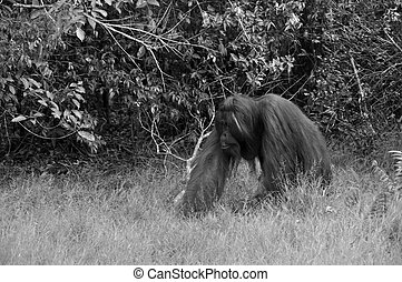 B/W Orangutan at National Park - Black and White - Orangutan...
