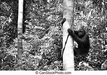 B/W Orangutan Climbing Tree - Black and White - Wild...