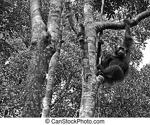 B/W Wild Orangutan - Black and White - Wild orangutan at...