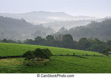 Bwindi tea plantations. - Gray morning fog over tea...