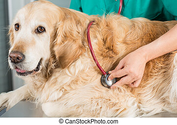 By listening to a dog Veterinary Golden - Veterinary by...