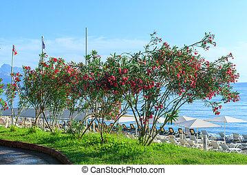 byen, central, kemer, oleander, blomster, strand