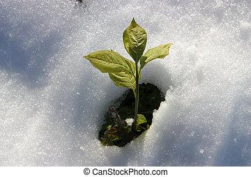 bylina, nezkušený, sněžit