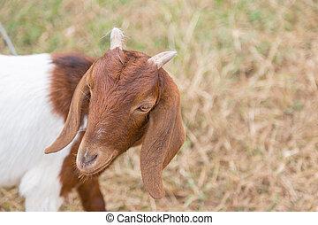cámara, encantador, marrón, goat, mirar, naturaleza, verde
