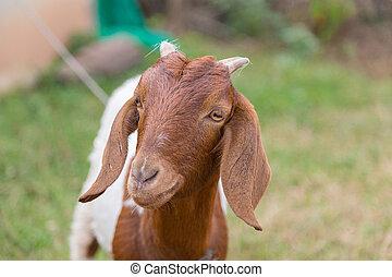 cámara, verde, goat, encantador, mirar, naturaleza, marrón