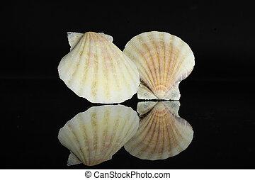 cáscara, aislado, molusco, vidrio, mar negro