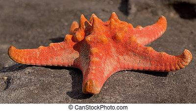 cáscara, estrella del mar, tropical, playa de arena, en, ocaso, -, verano, plano de fondo