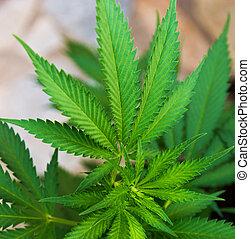 cânhamo, verde, marijuana, cannabis, folheia