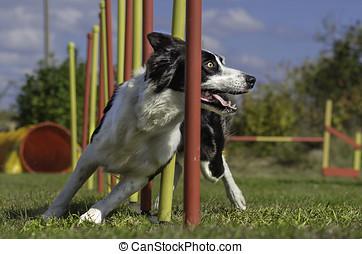 cão, agilidade, slalom