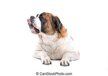 cão, bernard santo